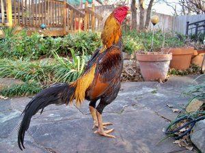 Brazilian Ganoi cock (1)